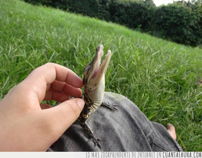 alligator,caimán,cocodrilo,lagarto,reptil