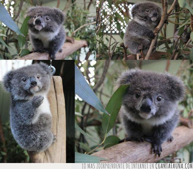 corazón,koala,pequeño,poder,soportar