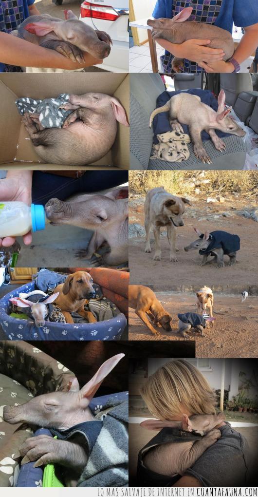 aardvark,áfrica,emocionante,fotos,huérfano,rescate