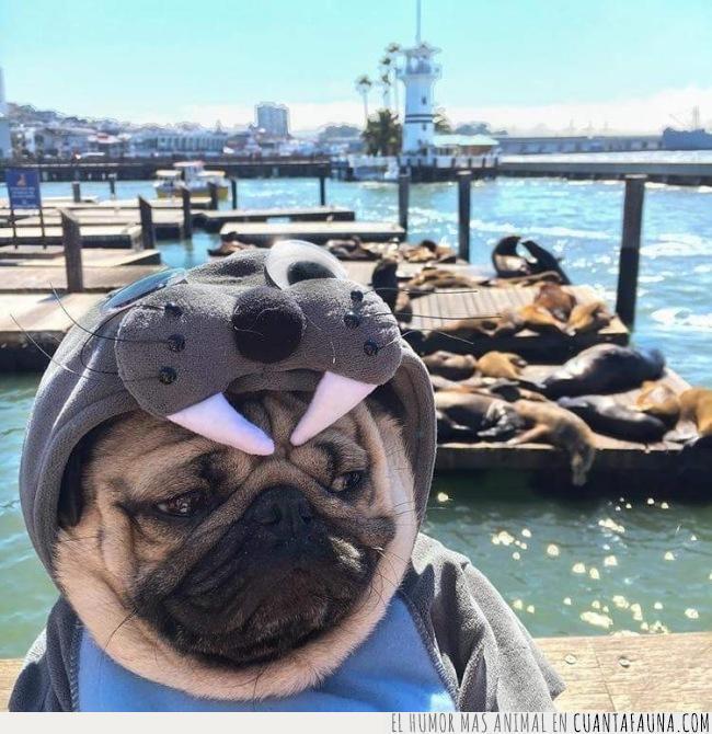 cara,cuenta,disfraz,foca,mirada,perro,pug,ser,tristeza