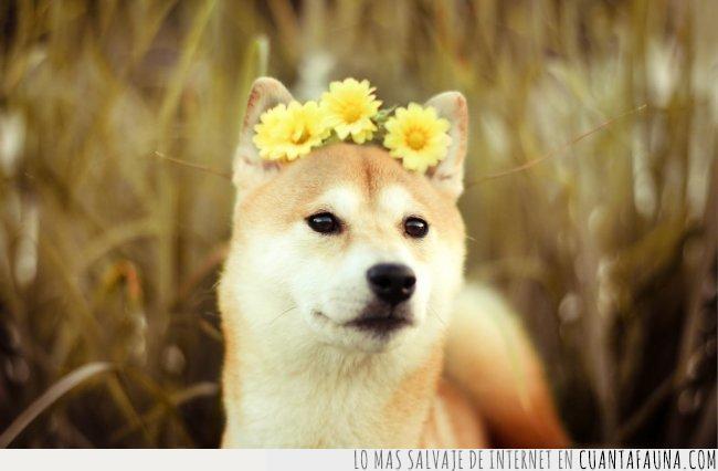 admirar,bien,corona,forma,hoy,mal,salir,shiba,viernes. flores