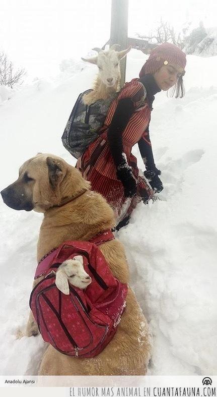 ayuda,cabra,cabrito,cría,mochila,nacer,nieve,pastora,pequeño,perro,turquía