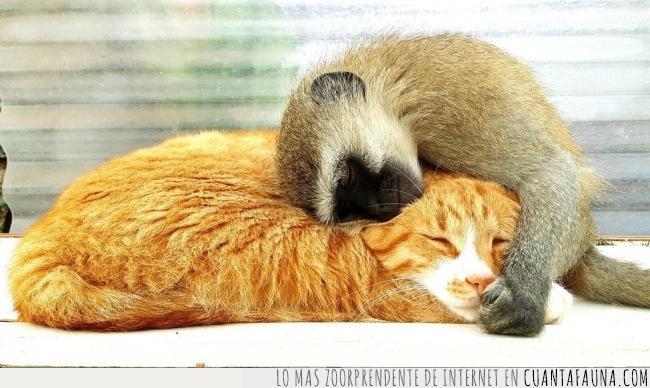 abrazo,amistad,gato,inesperado,mono,santuario,Zimbabwe