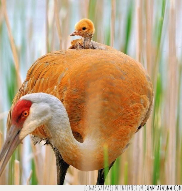 ala,ave,cría,escondido,espalda,imagen,llevar,madre,maternidad