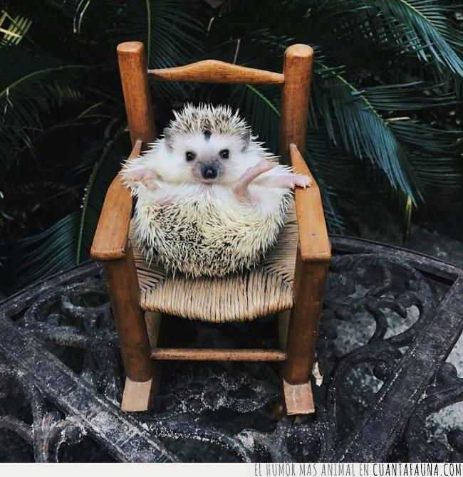 arrodillar,delante,erizo,frente,maestro,mimbre,sentado,silla,trono