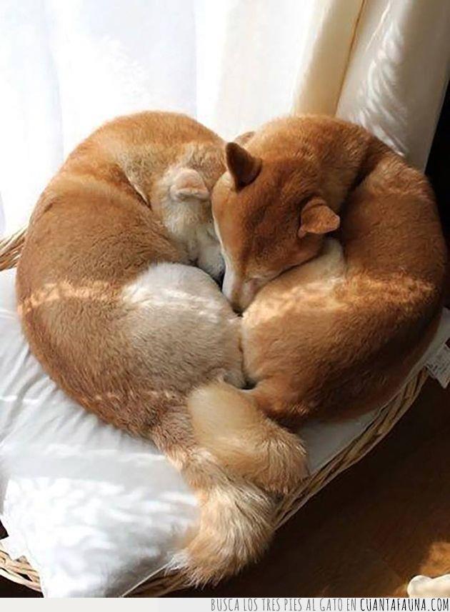 abrazo,corazón,dormir,inu,modo,perros,postura,san valentín,shiba,siesta