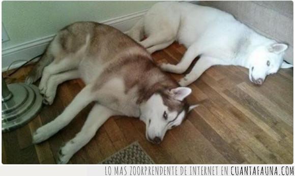can,dormir,Husky,pareja,perro