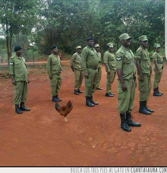 formar filas,gallo,pollo,soldados