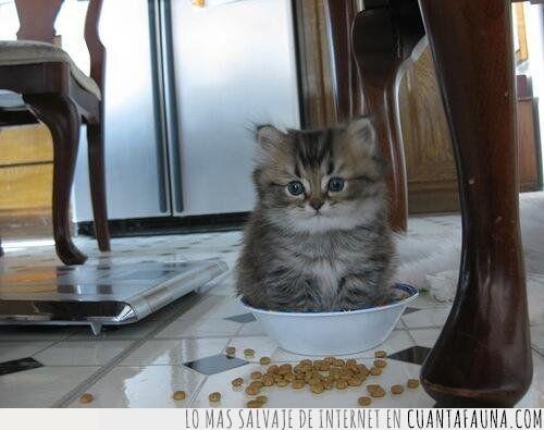 bol,cereales,comida,desayunar,gato,leche,pocillo