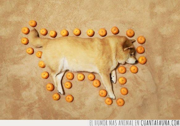 arte,dormir,mandarinas,performance,performativo,rodear,shiba,suelo