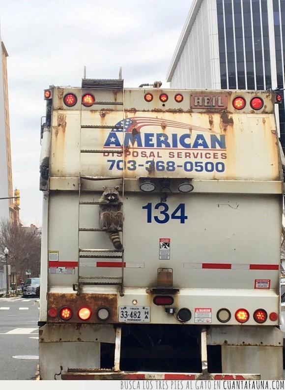 basura,camión,mapache