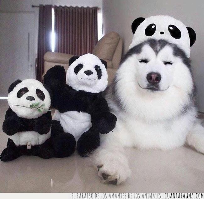 blanco,familia,husky,manchas,negro,panda,peluche