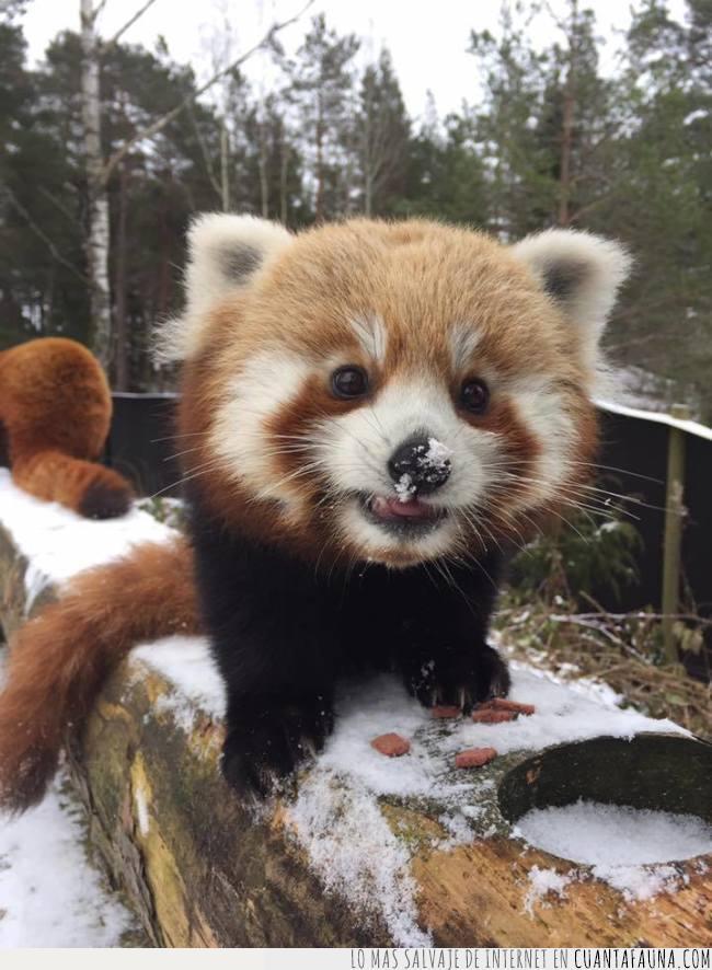 comida,día,marzo,mejor,mes,nariz,nieve,panda,rojo,tronco
