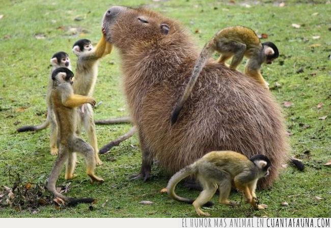 capibara,majestuosa,mono,presumida,tití,venerar