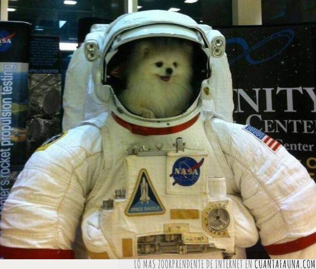astronauta,bowie,canción,casco,letra,perro,pomerania,raza,traje