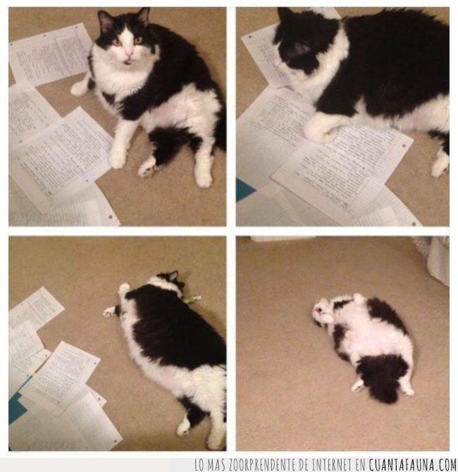 apuntes,blanco,estirado,estudiar,gato,negro,papeles,suelo,tirado,tumbado,tumbar