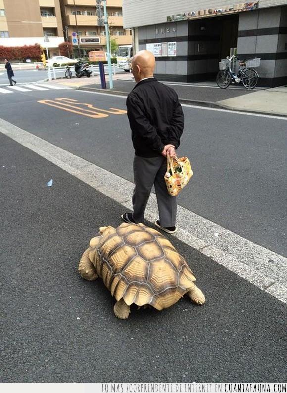 lento,maestro tortuga,mascota,muten roshi,tortuga