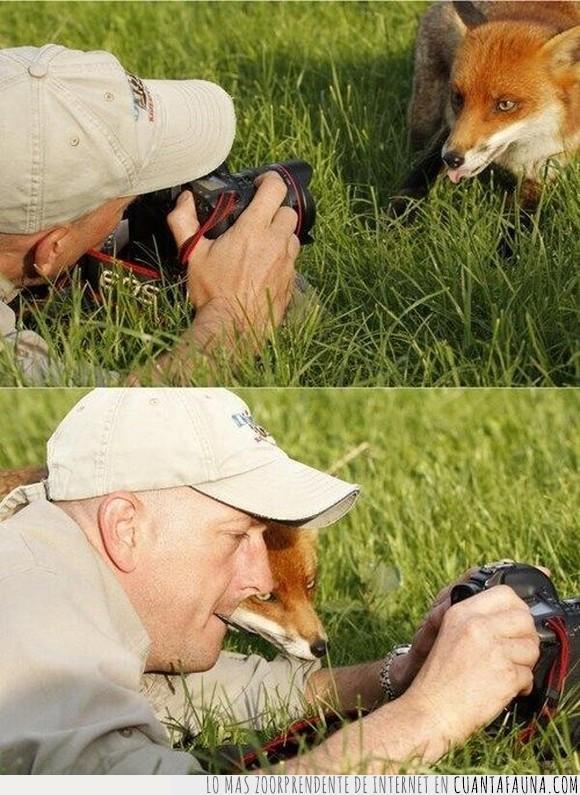 cámara,foto,mirar,Zorro