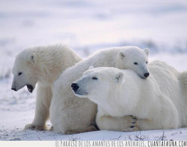 blancos,nieve,osos,polares,relax,tarde