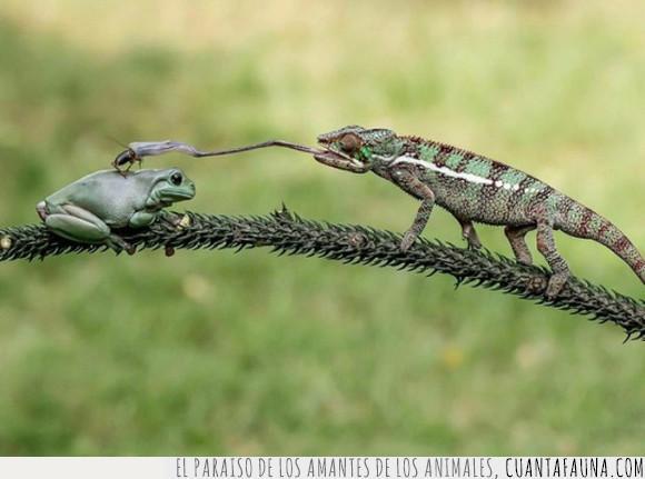 camaleón,engullir,rana