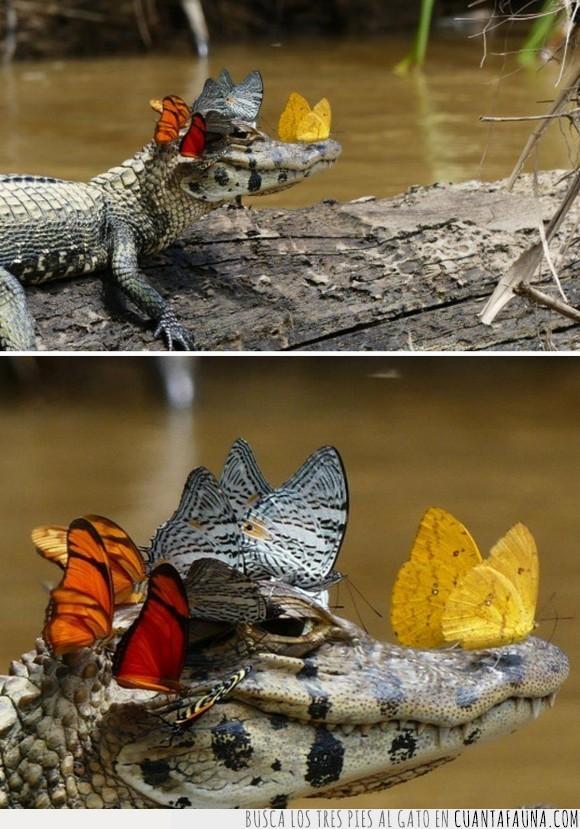 caimán,mariposas,posarse