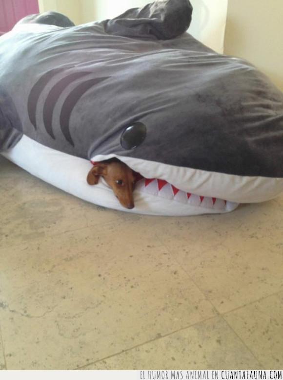 abrigar,can,perro,tiburón