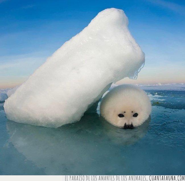 cobijo,foca,frío,hielo,imprevisto,pillar,primavera,proteger,temporal