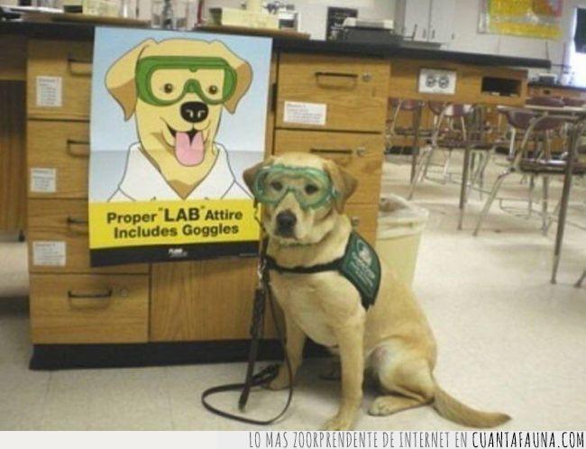 cartel,dibujo,jafas,laboratorio,labrador,perro,primero,seguridad