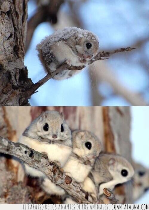 admirar,árbol,ardilla,enana,gris,japonesa,momento,nieve,ojos,pelaje,preciosas,rama,voladora