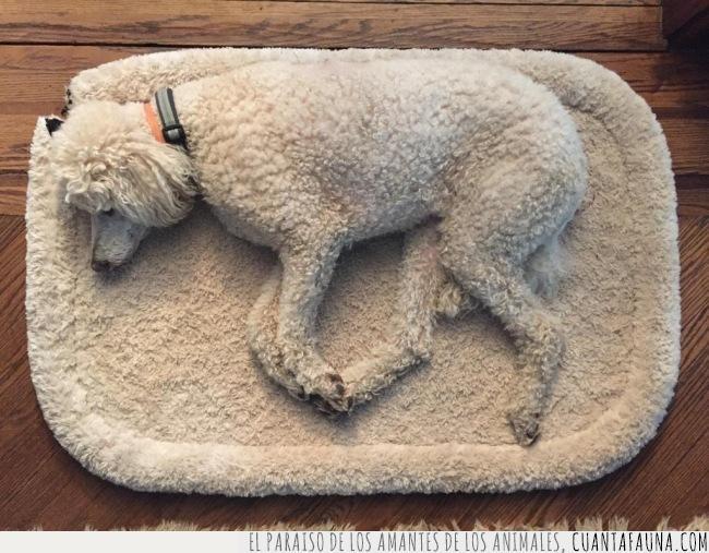 blanco,cama,camuflaje,lana,pelo,perro,rizado,textura,toalla