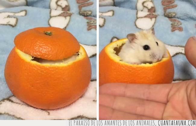 al día,comer,dieta,fruta,hamster,naranja,piezas,recomendación,salud