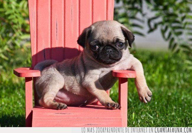 actuar,aparentar,ligar,natural,perro,pug,silla,venir