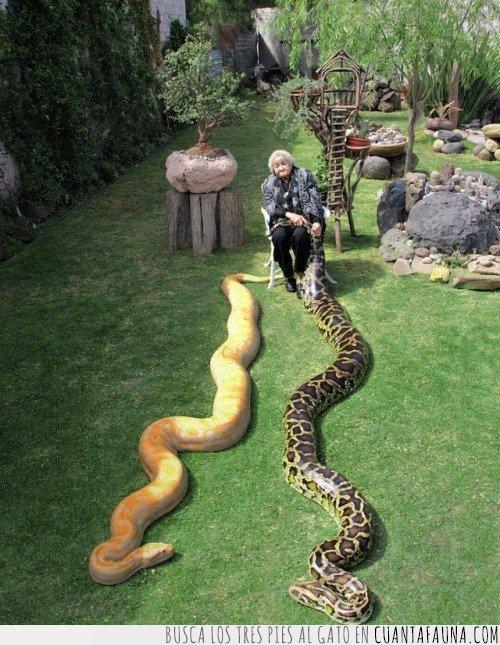 abuela,animales,compañía,convencional,dos,enormes,grandes,mascota,poco,serpientes,silla
