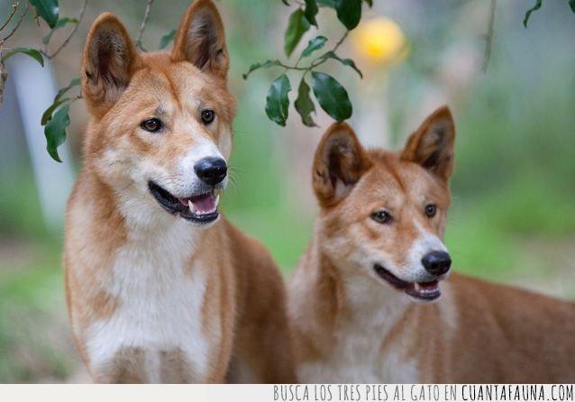 años,australia,australiano,dingo,domesticado,historia,mascota,perro,rareza,salvaje