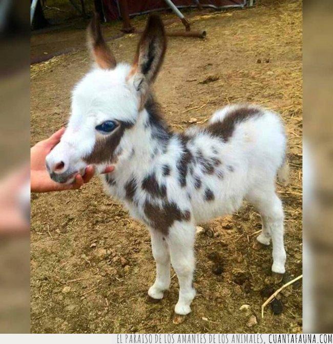 asno,azules,blanco,bonito,burro,caballo,cría,día,manchas,marrón,ojos,pequeño,poni