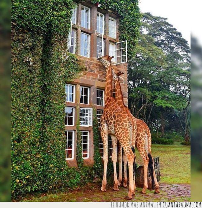 cabeza,cuello,edificio,espiar,jirafa,ruido,vecinos,ventana