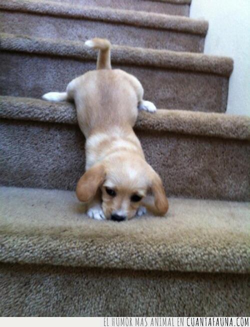 bajar,caer,dominar,escaleras,fácil,moqueta,parece,perro,subir