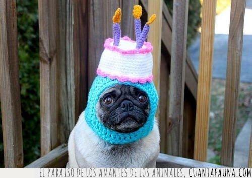 celebrar,cumpleaños,gorro,pastel,pug,punto