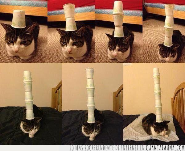 broma,equilibrio,gato,paciencia,prueba,vasos cabeza