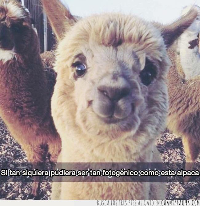 alpaca,bonito,cara,desear,estilo,foto,fotogénico,guapo,rabia,ser,sonreír,tener