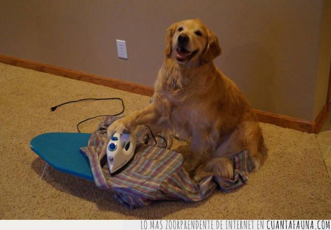 cable,camisa,casa,enchufe,foto,idea,moqueta,perro,planchar,posar,tarea