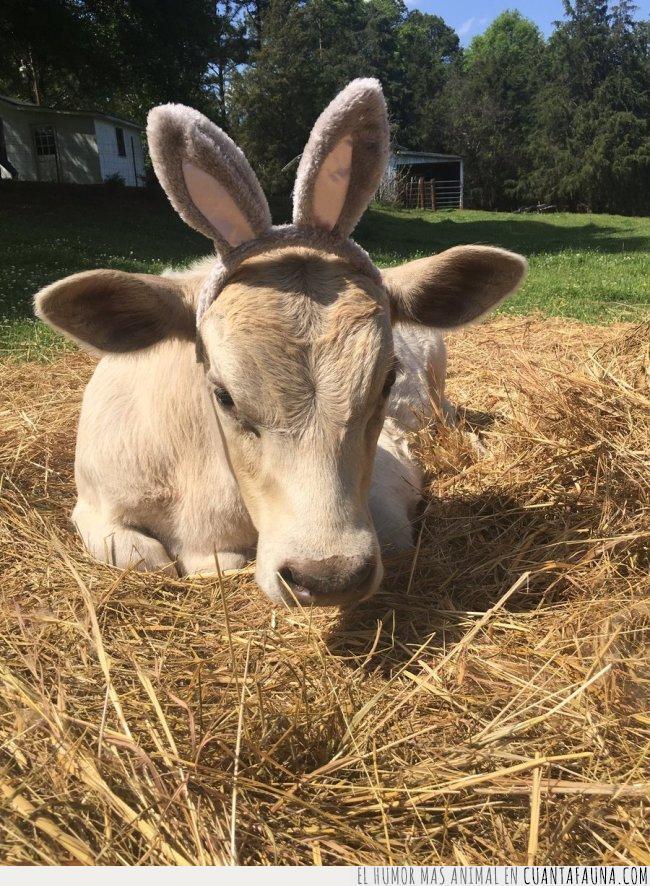 cama,campo,conejo,diadema,granja,implicar,libre,orejas,paja,ser,vaca,visión