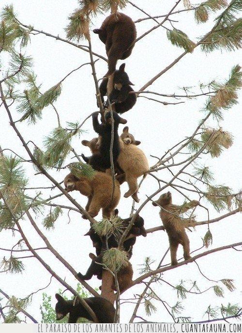 árbol,colgados,crías,frutal,frutas,frutos,osos,pino,ramas