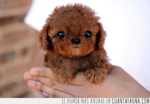 cachorro,chewbacca,guerra de las galaxias,película,personaje,star wars