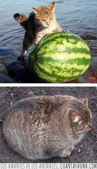 comer,desaparecer,gato,sandía,sobrepeso,sospechoso