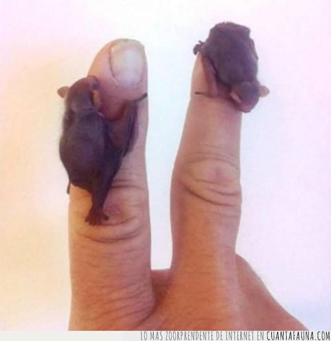 crías,dedos,monada,murciélago,pequeños,saber,victoria