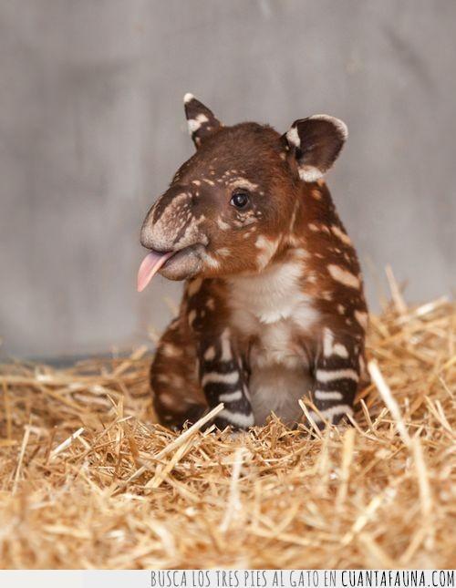 cría,día,lengua,mundial,pequeño,tapir