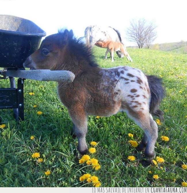 admirar,bonito,caballo,conformar,llegar a ser,mono,pequeño,poni