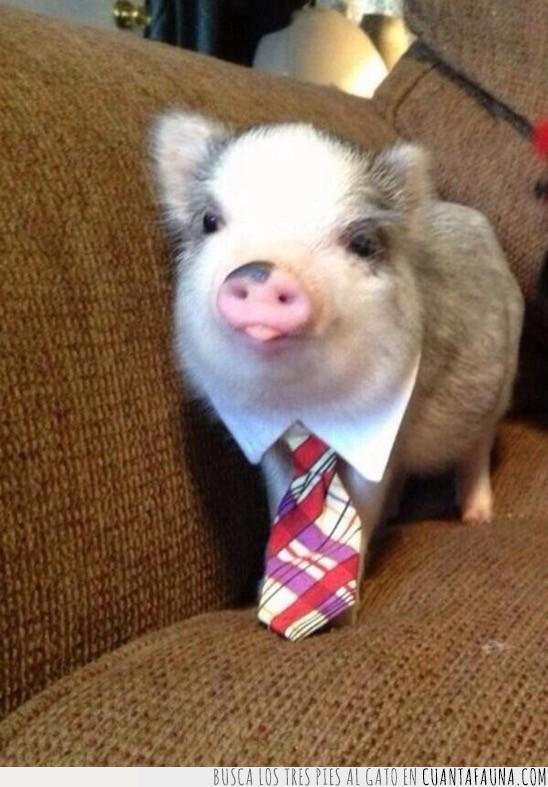 cerdo,corbata,hombre,importante,negocios,sofá