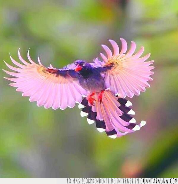 alas,ave,color,desplegar,imagen,lila,majestuoso,morado,pájaro,vuelo